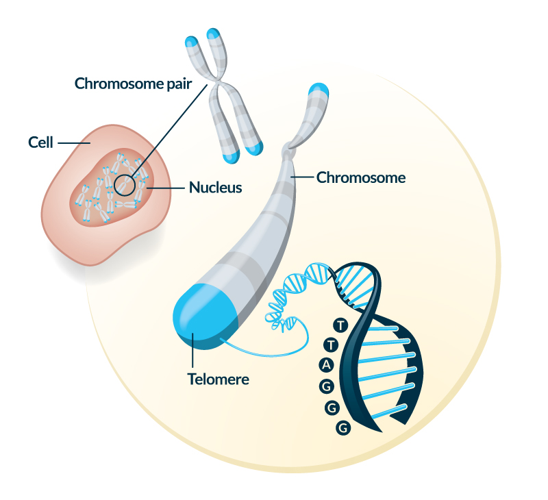 Telomere_Illustration