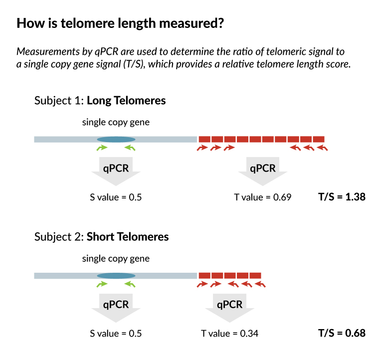 telomere-length-diagram3